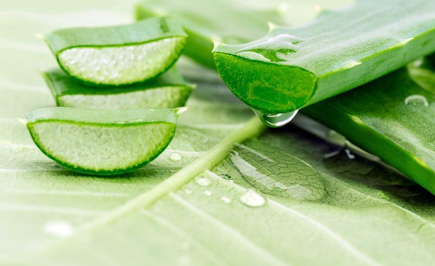Liście aloesu zwyczajnego, a także jego właściwości lecznicze i zastosowanie w medycynie ludowej, pielęgnacja w ogrodzie