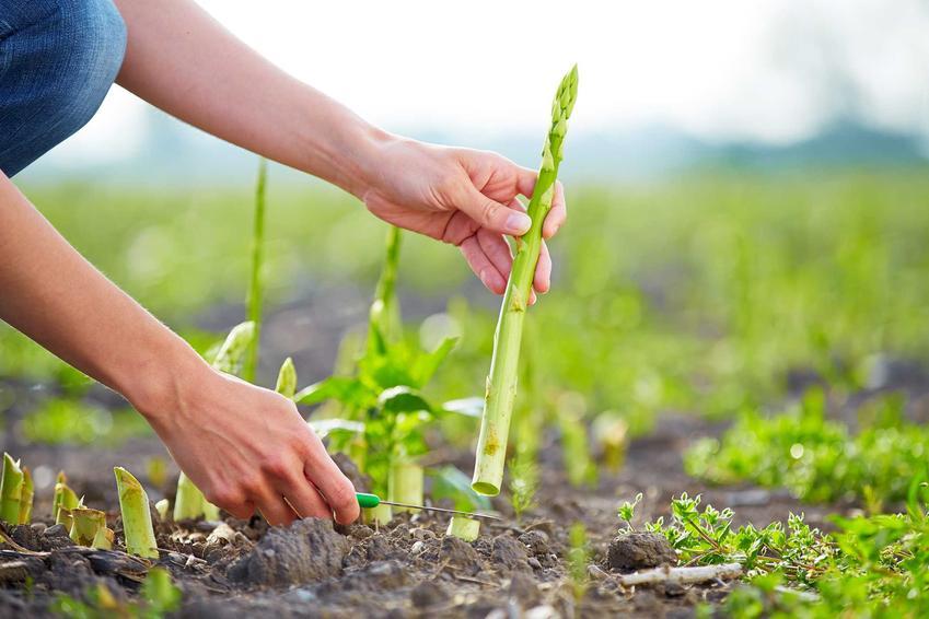 Mężczyzna podczas wycinania szparagów na polu, a także szparag lekarski w ogrodzie, sadzenie, pielęgnacja i uprawa