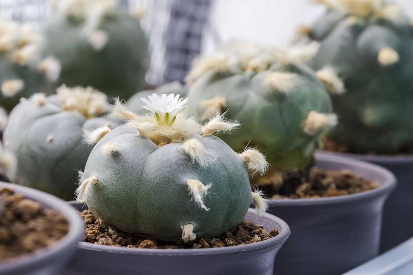 Pejotl z dużymi kolcami w doniczce, a także sadzenie, pielęgnacja i uprawa tych wyjątkowych kaktusów krok po kroku