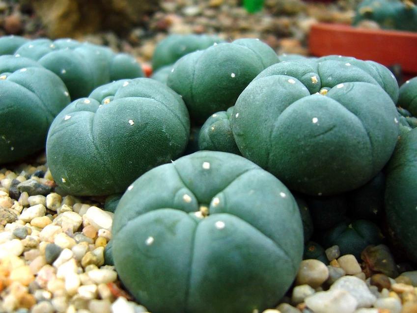Ciemnozielony pejotl w doniczce w podłożu z drobnymi kamyczkami, a także sadzenie, uprawa i podlewanie w ogrodzie