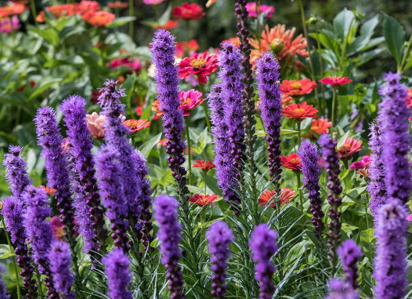 Liatra kłosowa w czasie kwitnienia, której odmiany są bardzo ciekawe, a uprawa nie należy do najtrudniejszych, dlatego warto ją uprawiac w ogrodzie