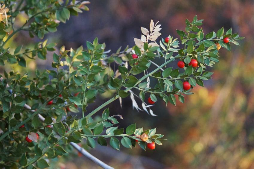 Ruszczyk kolczasty i jego właściwości lecznicze. To roślina nie tylko ozdobne, ale także krzew o pozytywnym wpływie na zdrowie