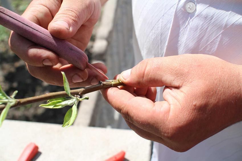 Szczepienie drzew krok po kroku, czyli sposoby na szczepienie drzewek owocowych oraz ozdobnych w ogrodzie
