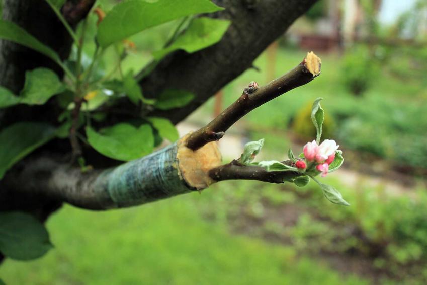 Szczepienie drzew krok po kroku - jak, kiedy i dlaczego, czyli porady i sposoby na szczepienie drzewek ozdobnych i owocowych