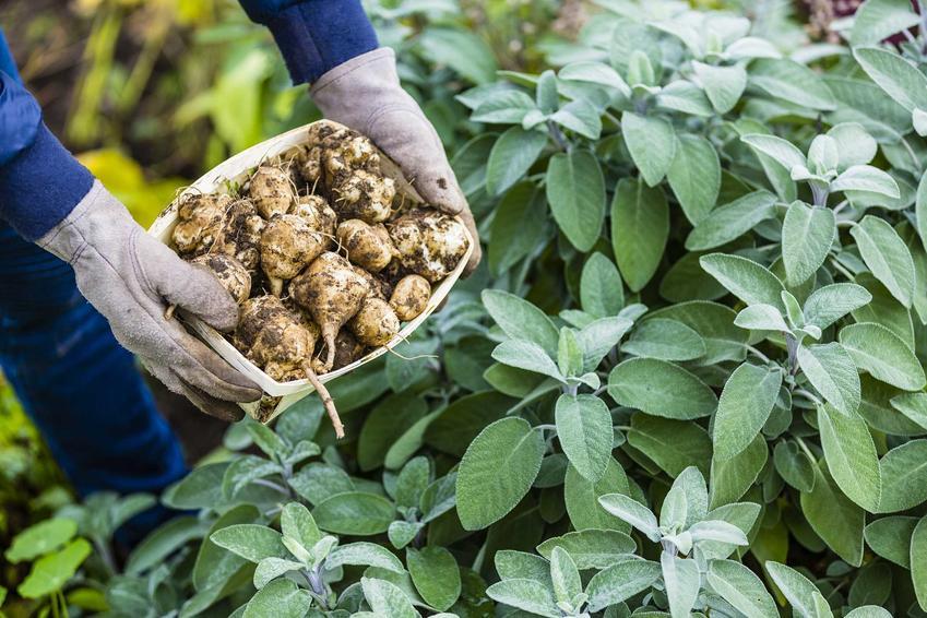 Topinambur, czyli słonecznik bulwiasty w czasie zbiorów w ogrodzie przez ogrodnika trzymającego w garści bulwy