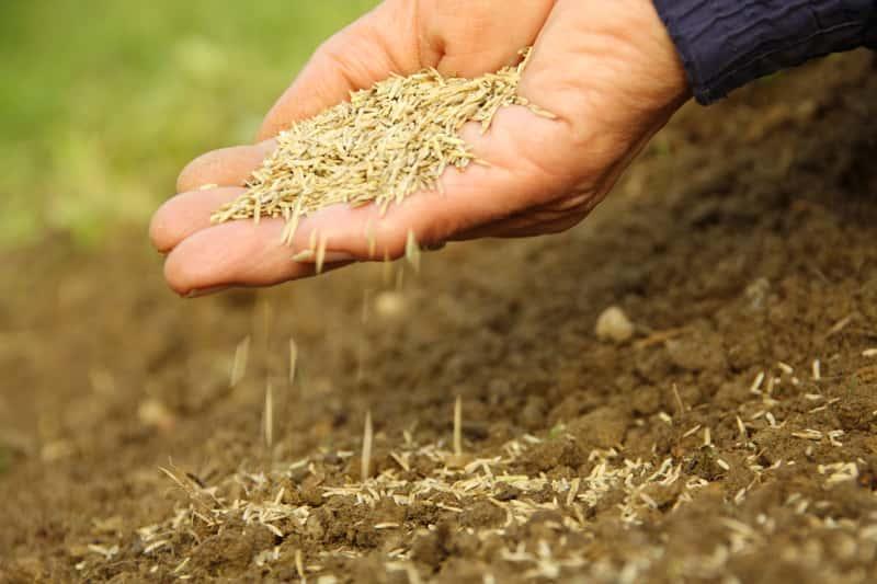 Najlepsza ziemia pod trawnik, na tle której znajduje się dłoń wysiewająca ziarna trawy na podłoże przygotowane do wysiewu trawy krok po kroku