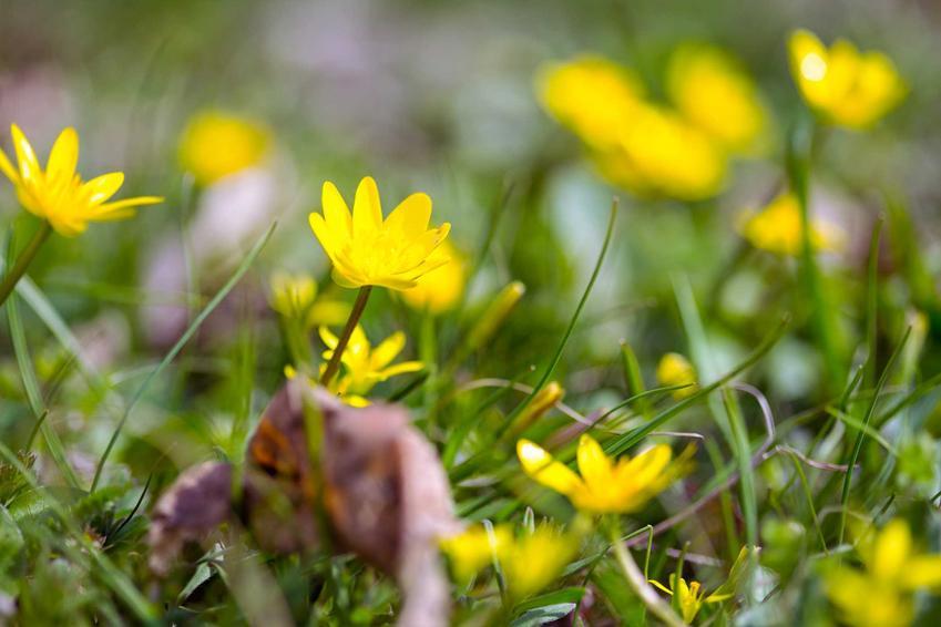 Żółty jaskier jadowity na terenach silnie zaszlamionych i podmokłych jako roślina trująca oraz zastosowanie i sadzenie