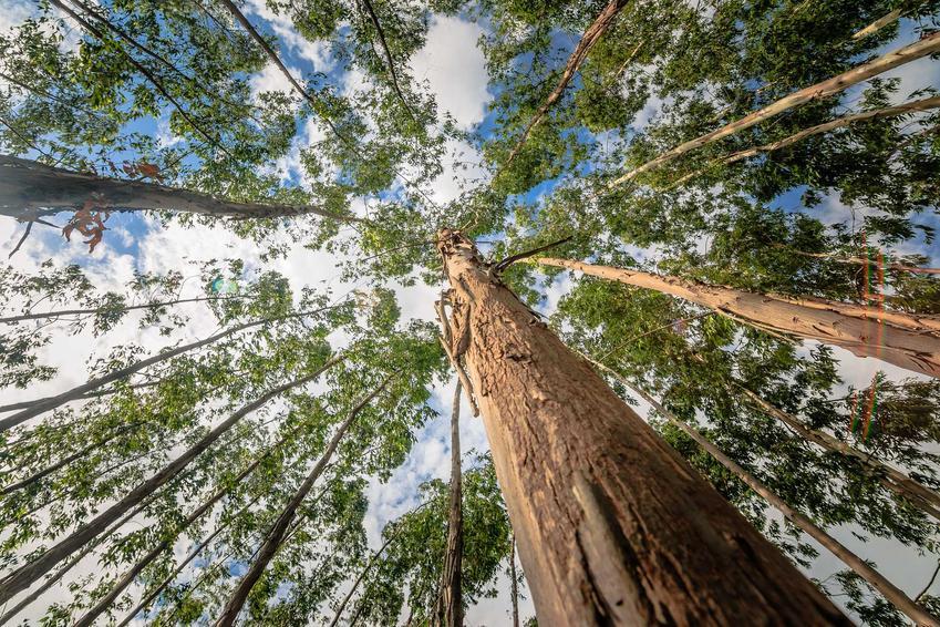 Eukaliptus królewski jako najwyższe drzewo na świecie obok sekwoi fotografowane od dołu, a także sadzenie, pielęgnacja i zastosowanie