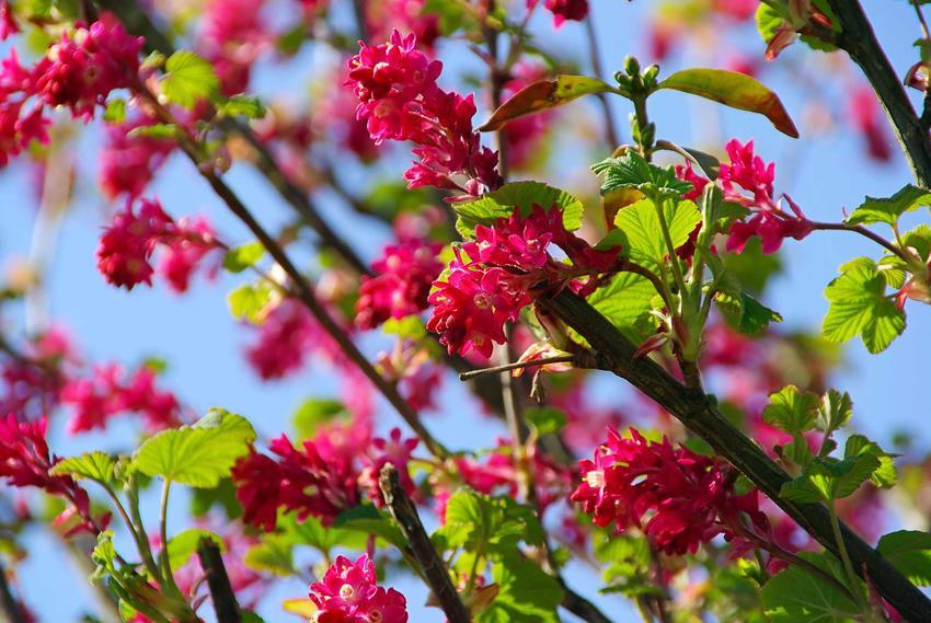 Porzeczka krwista w czasie kwitnienia, czyli porzeczka ozdobna, której uprawa w ogrodzie daje wiele satysfakcji