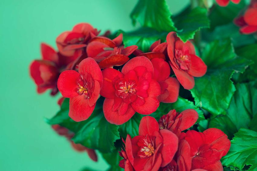 Begonia Dragon - stanowisko, wymagania stanowiskowe, uprawa, pielęgnacja i zimowanie rośliny krok po kroku