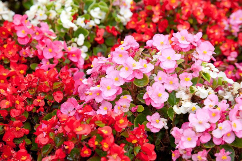 Begonia Dragon - stanowisko, wymagania, uprawa, pielęgnacja i zimowanie tego pięknego kwiatu w domu