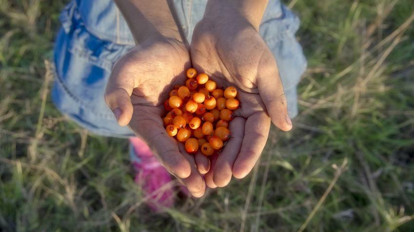 Owoce rokitnika zwyczajnego trzymane w dłoniach. Rokitnik pospolity to roślina, której właściwości lecznicze warto znać