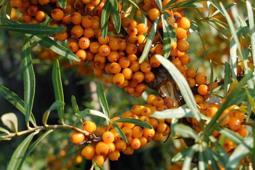 Rokitnik zwyczajny i owoce rokitnika na owocującycm krzewie. Rokitnik pospolity to roślina o licznych właściwościach