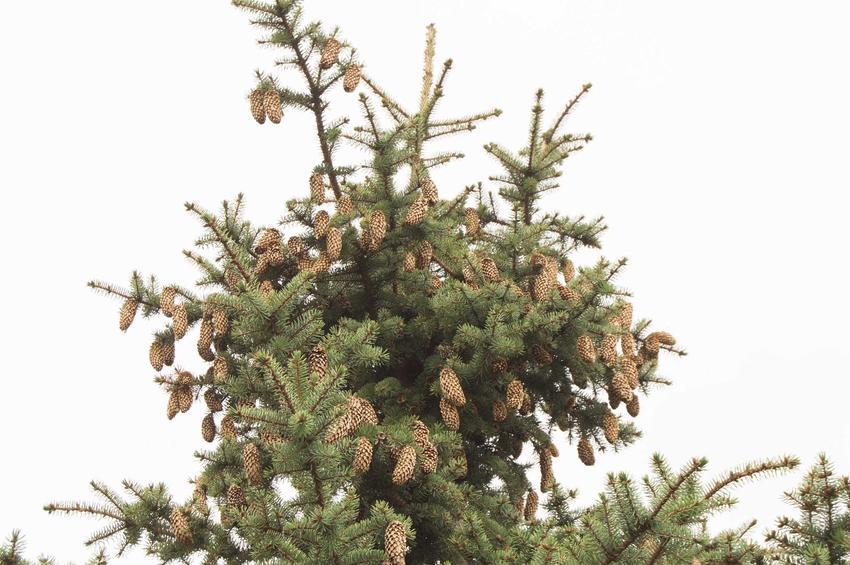 Świerk sitajski picea sitchensis z szyszkami w górnej częsci drzewa. Jego uprawa nie należy do wymagających