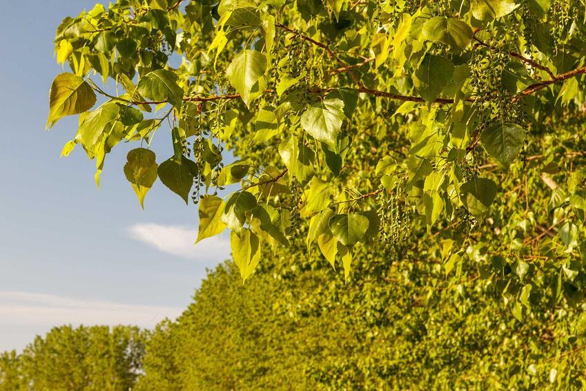 Topola kanadyjska, czyli populus canadensis z zielonymi liścmi oraz porady, na czym polega jej uprawa w Polsce