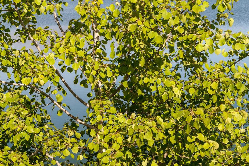 Topola balsamiczna, czyli populus balsamifera z zielonymi liśćmi. Jej uprawa nie należy do skomplikowanych