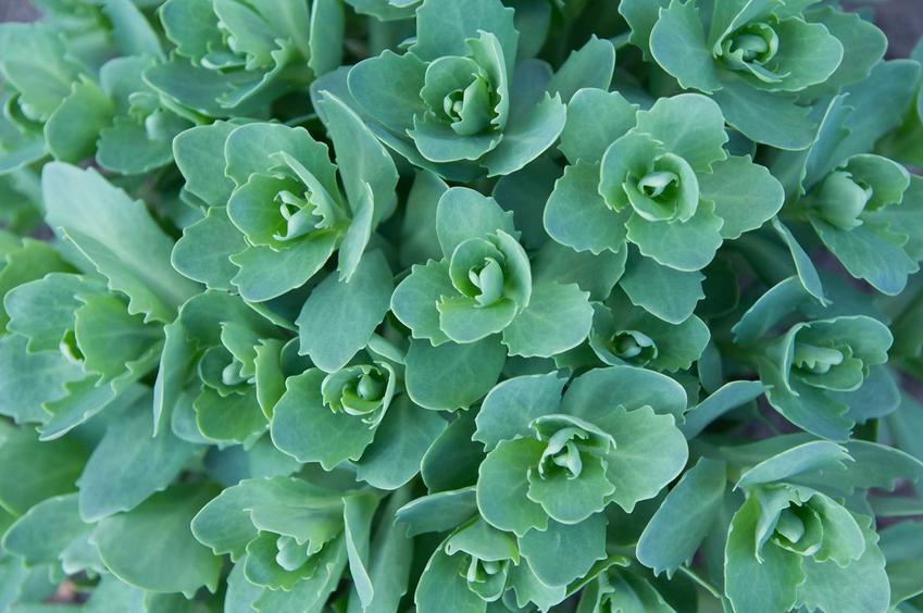 Rozchodnik okazały o pięknych kwiatach, a także uprawa, rozsada, pielęgnacja, podlewanie i nawożenie