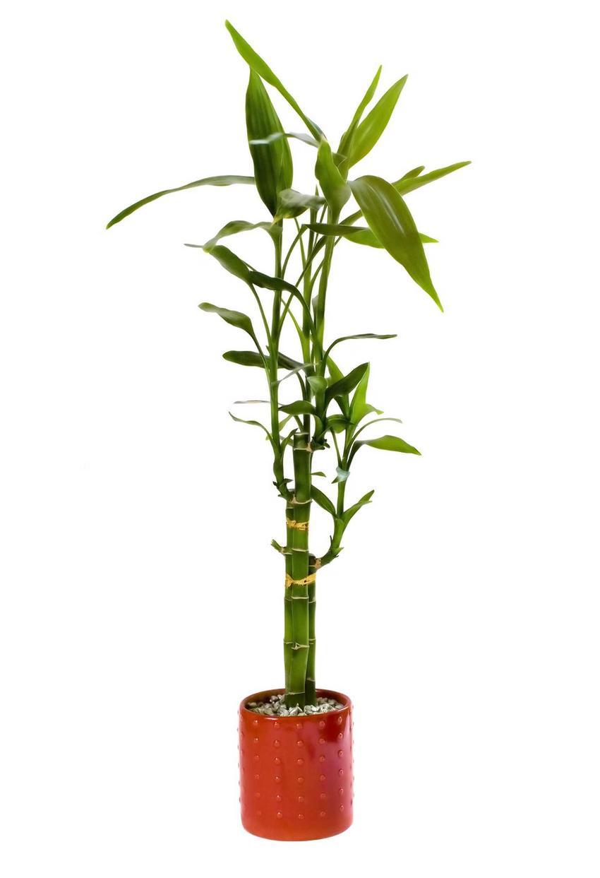 Dracena Sandera (Lucky Bamboo) w doniczce, a także odmiany, uprawa, pielęgnacja oraz przesadzanie w domu