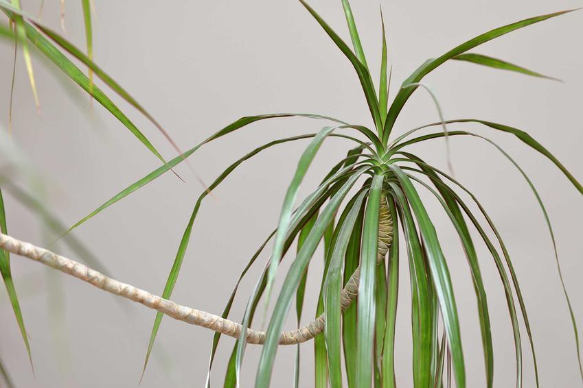 Dracena Smocza, czyli Dracena draco jako ciekawa roślina doniczkowa do uprawy w domu, pielęgnacja, stanowisko krok po kroku