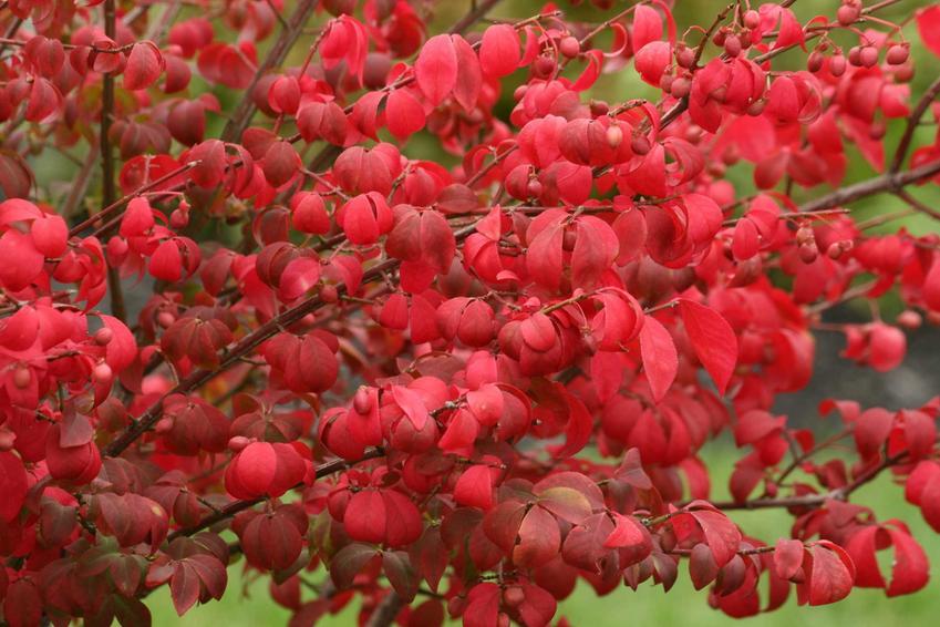 Trzmielina oskrzyglona, czyli tak zwany płonący krzew o niezwykłym uroku, którego uprawa i pielęgnacja nie jest trudna
