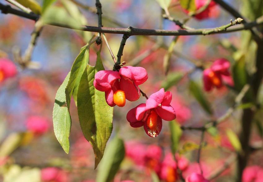 Zbliżenie na kwiat trzmieliny pospolitej, określanej też jako trzmielina europejska, w czasie kwitnienia