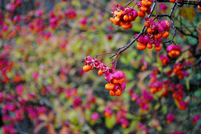 Trzmielina pospolita, czyli inaczej trzmielina europejska, której walory dekoracyjne zachęcają do uprawy