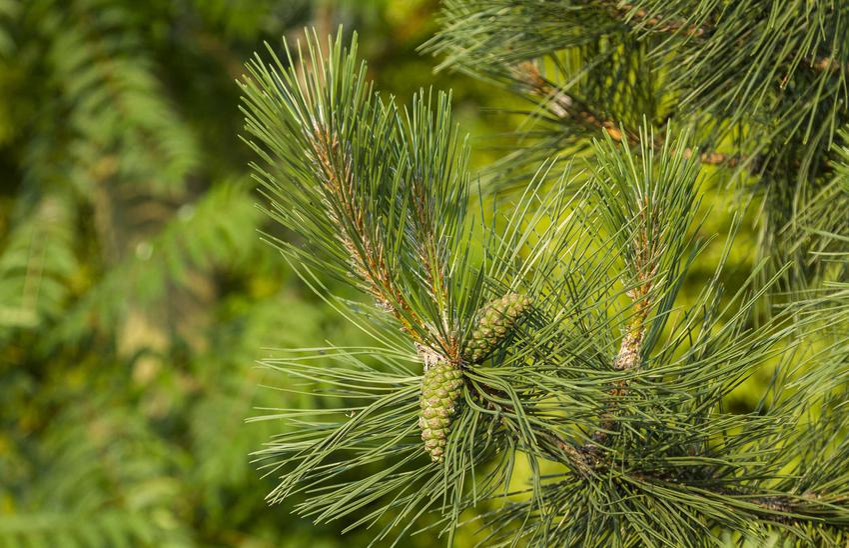 Sosna czarna pinus nigra z wyeksponowanymi igłami oraz zasady jej uprawy, stanowisko, sadzenie i pielęgnacji - krok po kroku