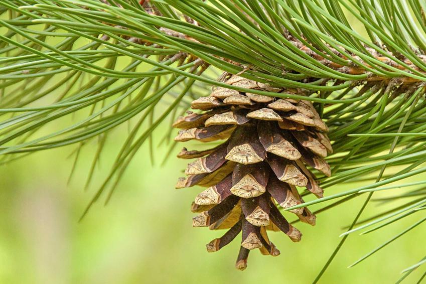 Szyszka sosny czarnej pinus nigra oraz zasady uprawy, warunki, stanowisko, sadzenie i pielęgnacji tego drzewa iglastego