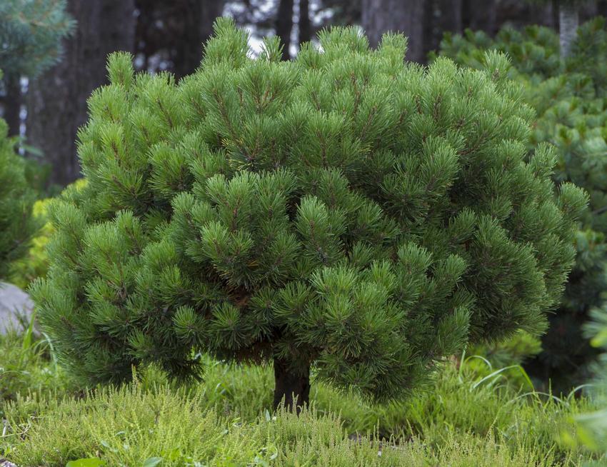 Drzewko sosny górskiej w całej okazałości, czyli pinus mugo oraz odmiany, zasady i warunki uprawy oraz pielęgnacji