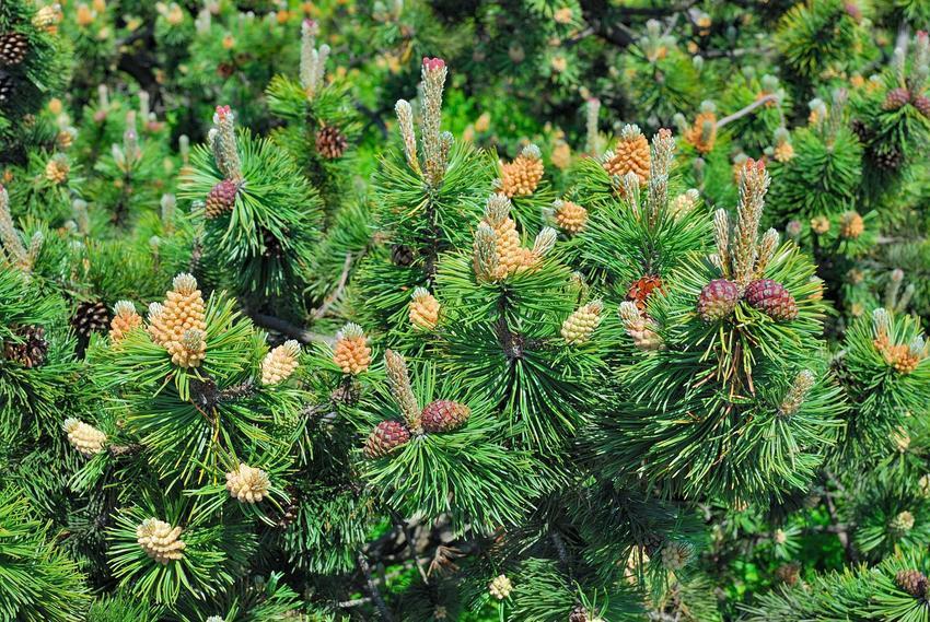 Sosna górska pinus mugo, czyli tak zwana kosodrzewina górska z wyeksponowanymi igłami i szyszkami oraz jej odmiany, warumki uprawy, pielęgnacja
