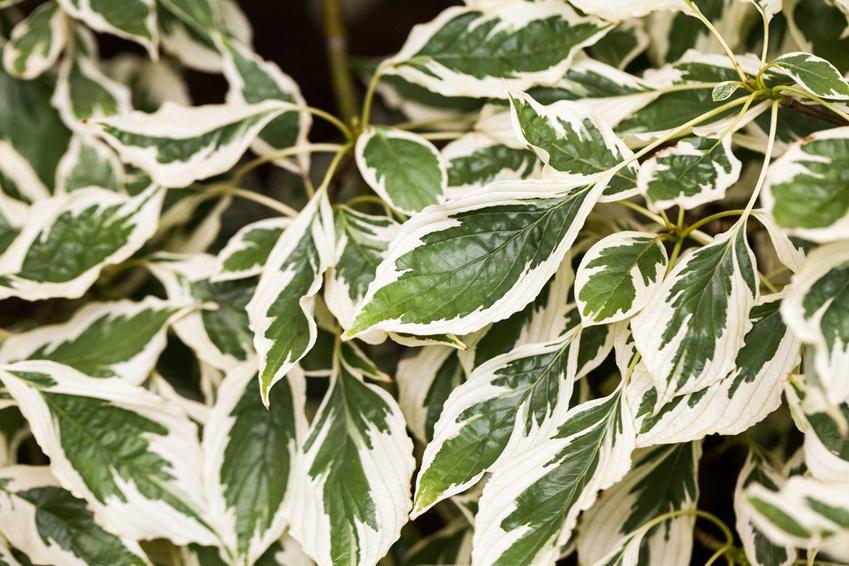 Dereń pagodowy Cornus controversa z zielonymi liśćmi z jasnymi przebarwieniami, warunki uprawy, wymagania, stanowisko, sadzenie, pielęgnacja - porady