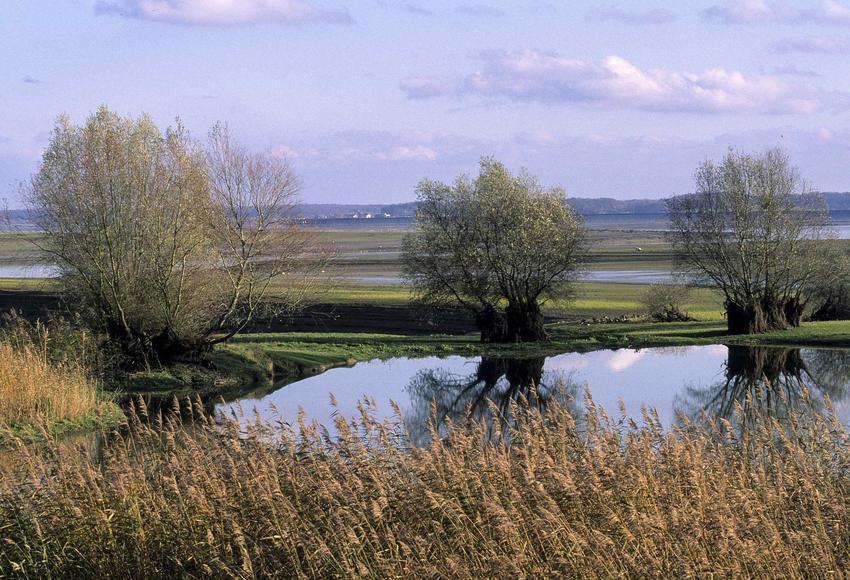 Wierzba szara lub tak zwana wierzba łoza na tle polskiego krajobrazu oraz jej charakterystyka, zastosowanie i sadzenie