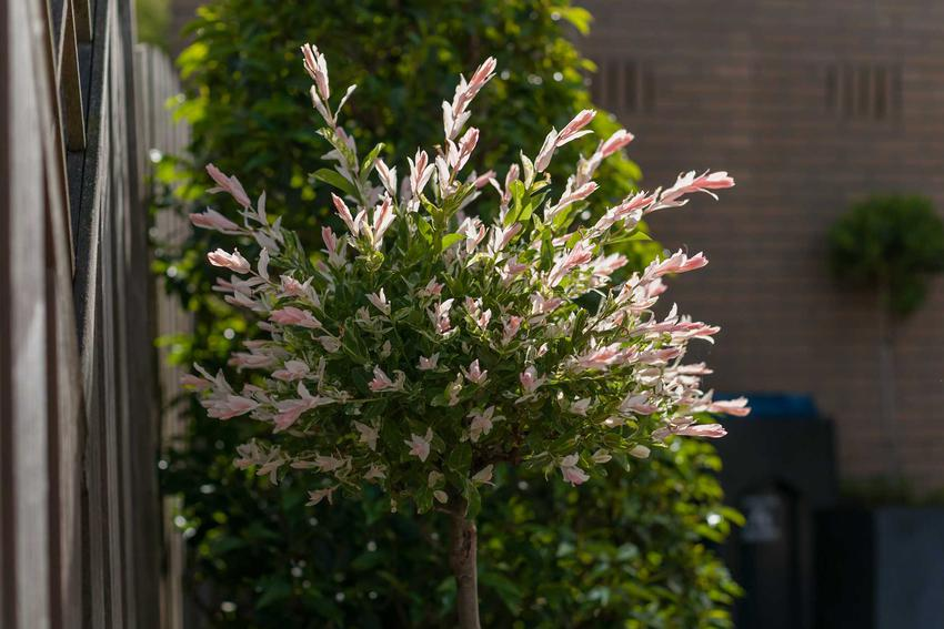 Wierzba ozdobna, czyli wierzba ogrodowa jako interesujące drzewko ozdobne. Uprawa i pielęgnacja wierzby