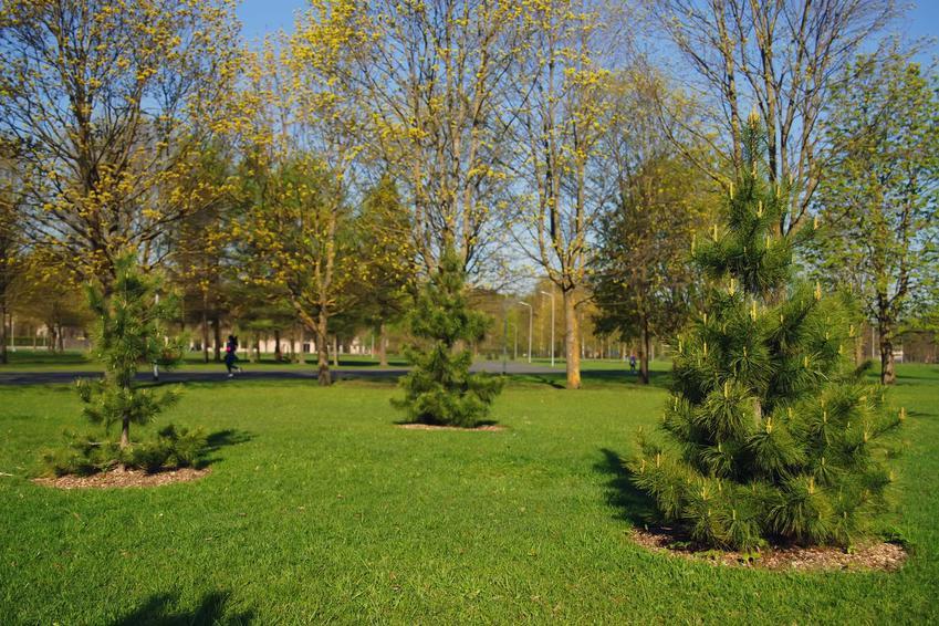 Sosna kaukaska czy też choinka kaukaska w ogrodzie w okresie letnim. Jej opis i charakterystyka, zastosowanie i sadzenie