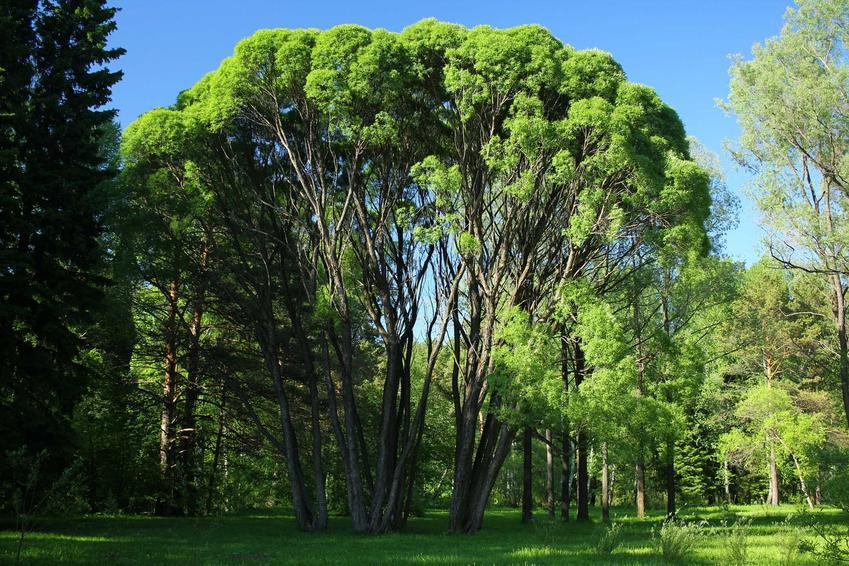 Wierzba krucha Salix fragilis w zielonym parku jako drzewo liściaste ogromnych rozmiarów, a także sadzenie i pielęgnacja rośliny w ogrodzie