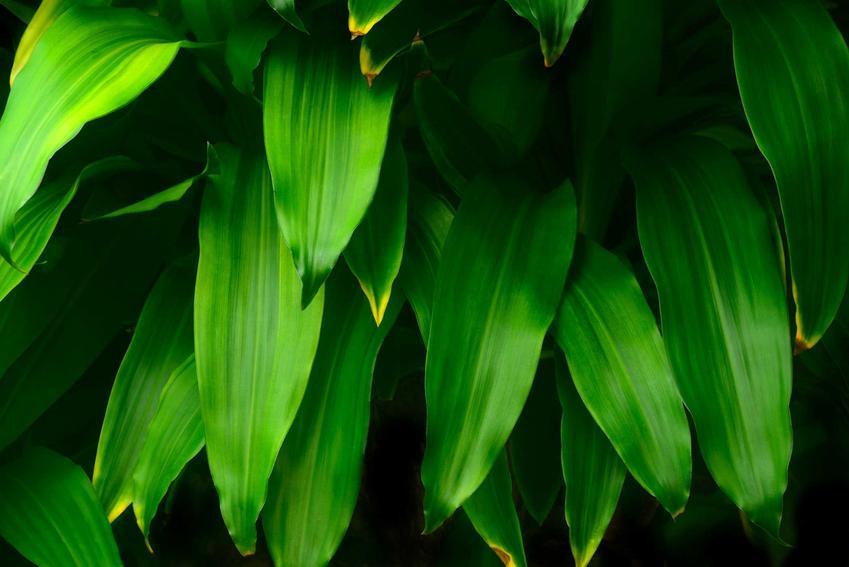 Dracena fragrans, czyli dracena wonna z zielonymi liśćmi oraz zasady jej uprawy, pielęgnacji, stonowisko i warunki wzrostu