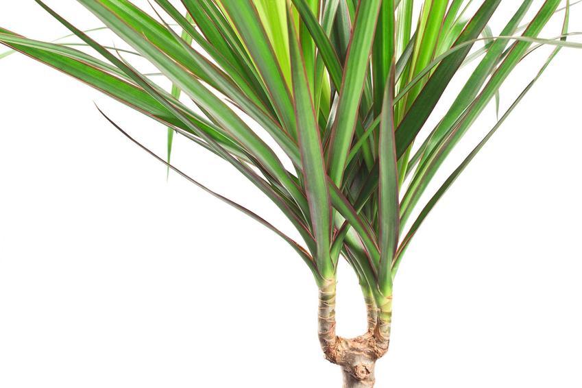 Dracena obrzeżona, czyli dracena marginata z zielonymi liścmi na pniu. Porady, jak wygląda uprawa i pielęgnacja