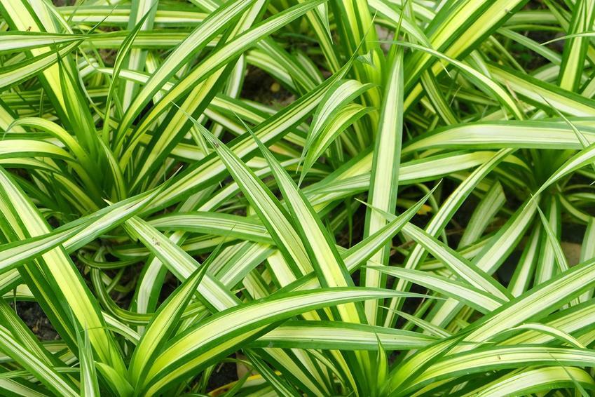 Dracena odwrócona, czyli dracena reflexa z zielonymi liścmi oraz warunki jej uprawa, wymagania, sadzenie i pielęgnacja w domu