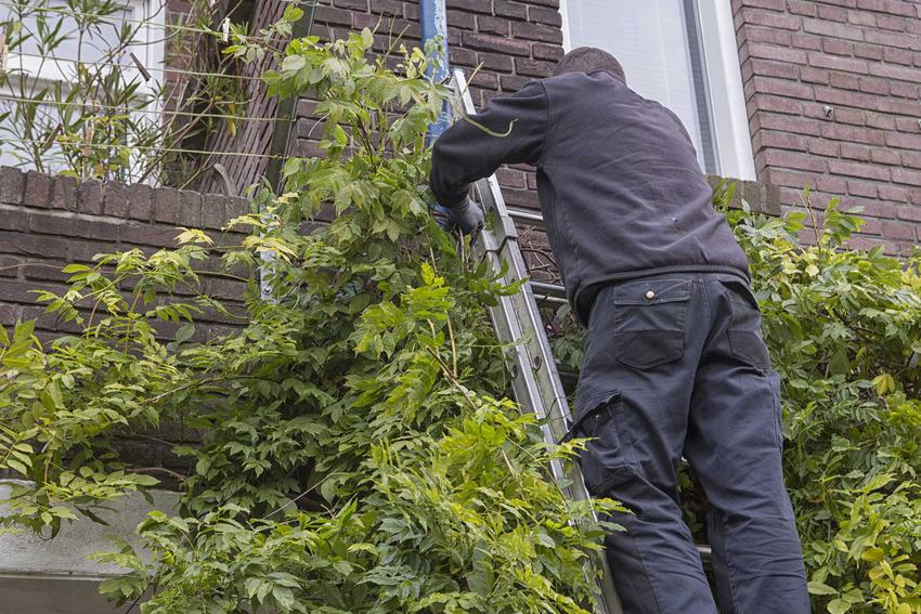 Mężczyzna podczas zabiegu, jakim jest cięcie glicynii oraz porady na temat rozmnażania glicynii w ogrodzie