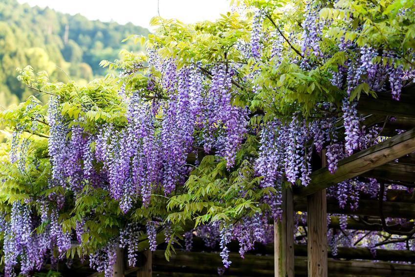 Glicynia japońska, czyli wisteria floribunda w czasie kwitnienia w ogrodzie oraz omówienie zagadnień uprawa i pielęgnacja