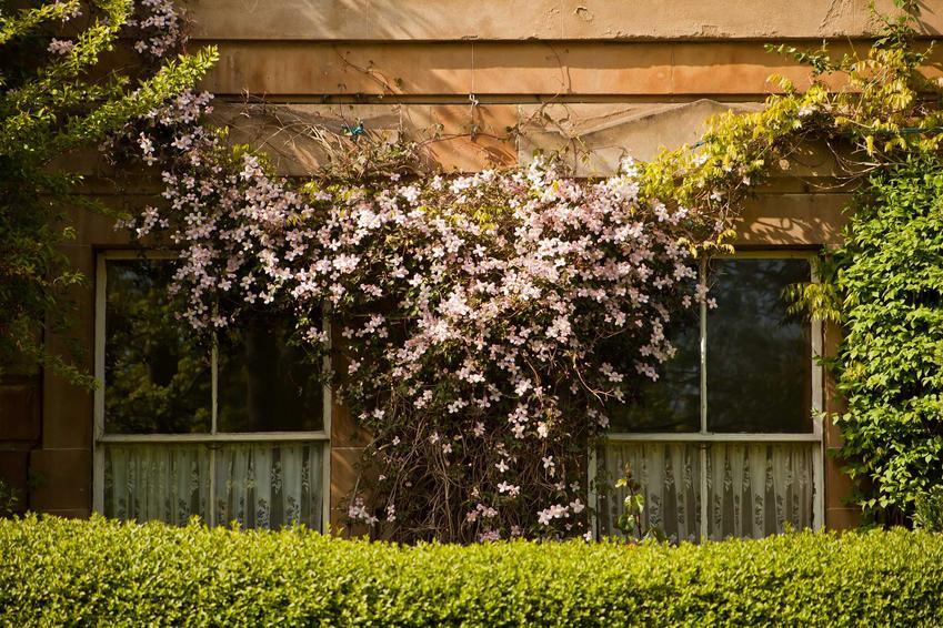 Powojnik tangucki, czyli clematis tangucita w czasie kwitnienia w ogrodzie oraz zasady jego uprawy i pielęgnacji