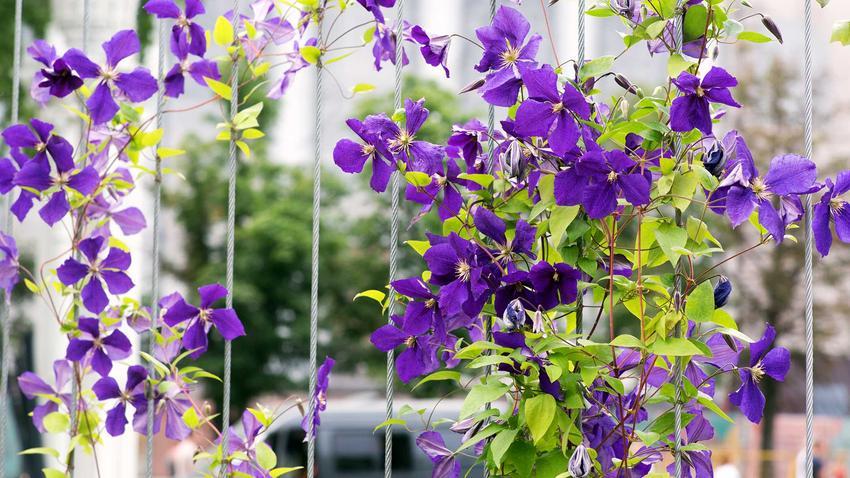 Powojnik Jackmana, czyli powojnik filetowy w postaci pięknie zwisających kwiatów oraz jego uprawa i pielęgnacja