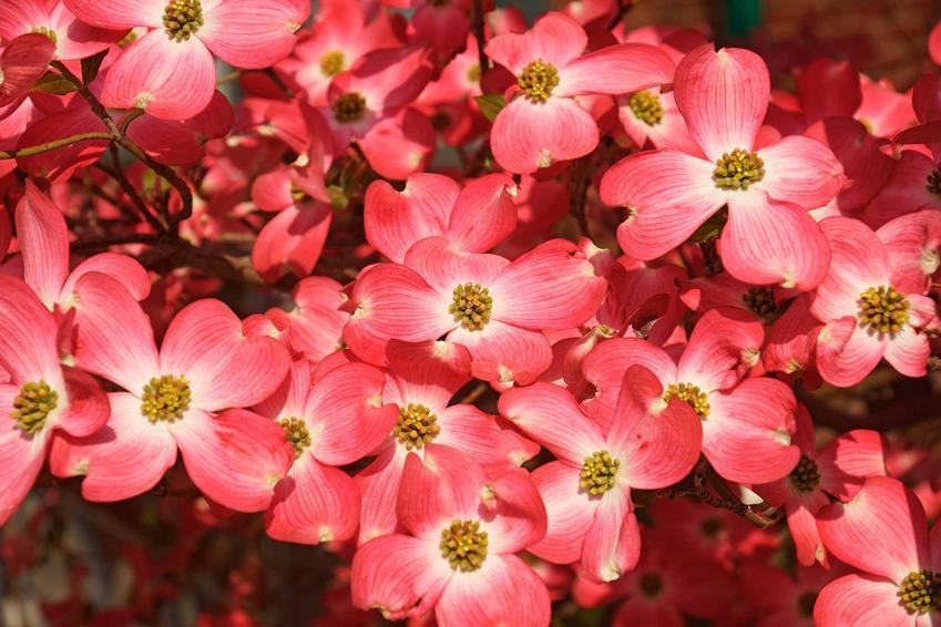 Dereń kwiecisty, czyli dereń cornus florida rubra w czasie kwitnienia oraz sadzonki i indormacje o uprawie