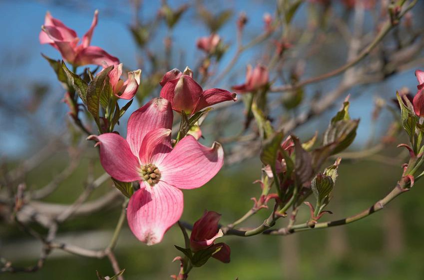 Kwiat derenia kwiecistego, czyli derenia cornus florida rubra oraz omówienie jego wymagań, sadzenie oraz uprawa