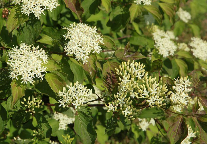 Dereń świdwa w czasie kwitnienia, czyli ciekawe krzewy ozdobne do ogrodu, charakterystyka, uprawa i pielęgnacja