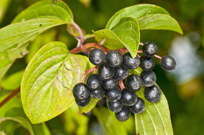Owoce derenia świdwy oraz dereń świdwa, czyli dereń pospolity jakoe ciekawe krzewy ozdobne i owocowe