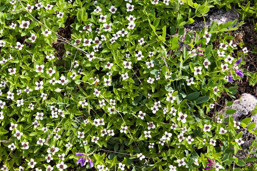 Dereń kanadyjski płożący, inaczej cornus canadensis w czasie kwitnienia oraz zasady jego uprawy i pielęgnacji