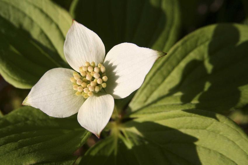 Kwiat derenia kanadyjskiego płożącego cornus canadensis oraz jego uprawa i pielęgnacja, sadzenie oraz podlewanie