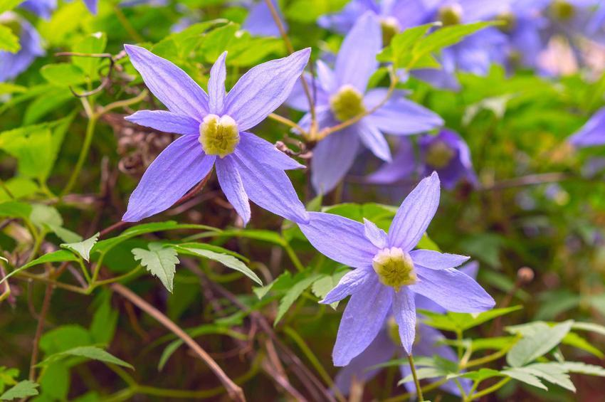Powojnik alpejski, czyli clematis alpina w czasie kwitnienia na fioletowo oraz jego opis i uprawa, pielęgnacja oraz sadzenie