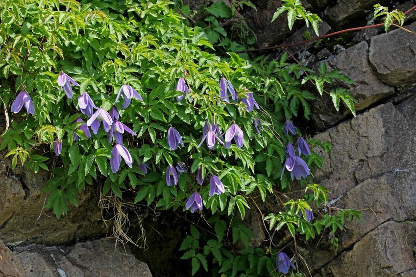 Powojnik alpejski, inaczej dzwoneczek alpejski lub Clematis alpina w czasie kwitnienia, sadzenie, pielęgnacja i podlewanie